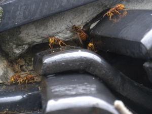 キイロスズメバチが隙間からゾロゾロ(郡山市、2010年10月上旬).jpg