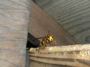 キイロスズメバチたちが出入りする隙間(福島県西白河郡、2010年10月中旬).jpg