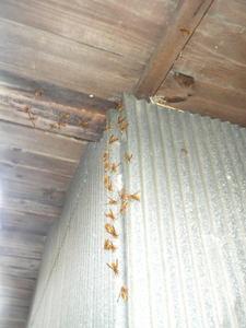 キイロスズメバチたちが壁に勢ぞろい(福島県石川郡、2010年10月中旬).jpg