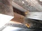 キイロスズメバチたちの出入り口(福島県伊達市、2010年9月中旬).jpg