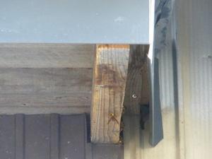 キイロスズメバチたちの出入り口(福島県田村市、2010年10月上旬).jpg