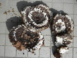キイロスズメバチのお墓の巣は、直径30cm、巣盤6段(福島県田村市、2010年9月下旬).jpg