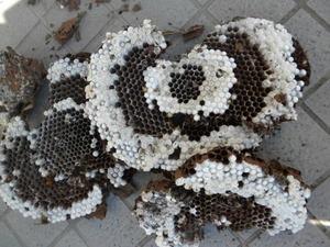 キイロスズメバチの土中の巣は、直径30cm、巣盤4段(福島県西白河郡、2010年9月下旬).jpg