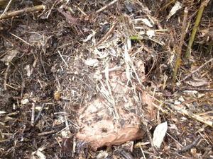 キイロスズメバチの土中の巣(福島県西白河郡、2010年9月下旬).jpg