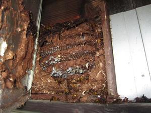 キイロスズメバチの壁の中に作られた巣 田村市、10月中旬.jpg