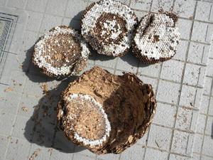 キイロスズメバチの壊れた巣は直径36cm(郡山市、2010年9月下旬).jpg