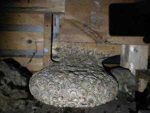キイロスズメバチの天井裏の巣は鏡餅型(郡山市、2010年10月上旬).jpg