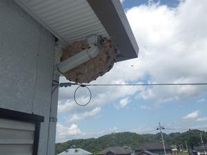 キイロスズメバチの奇妙な形をした軒下の巣(福島県三春町).jpg