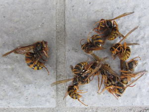 キイロスズメバチの女王蜂と働き蜂たち 伊達市、2012年.jpg