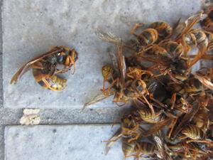 キイロスズメバチの女王蜂と働き蜂たち 須賀川市、2012年.jpg
