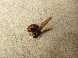 キイロスズメバチの女王蜂を仕留めました 福島市、6月初旬.jpg