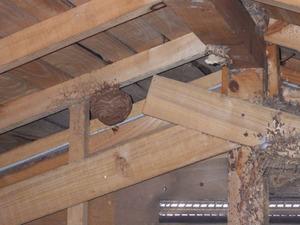 キイロスズメバチの屋根裏の巣(郡山市).jpg