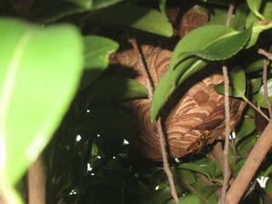 キイロスズメバチの巣があった生垣の樹内 福島県石川郡、7月中旬.jpg