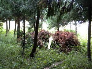 キイロスズメバチの巣がスギの枝葉を堆積した小山に(福島県、2010年10月上旬).jpg