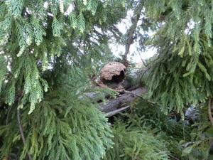 キイロスズメバチの巣が伐採で壊れる(郡山市、2010年9月下旬).jpg