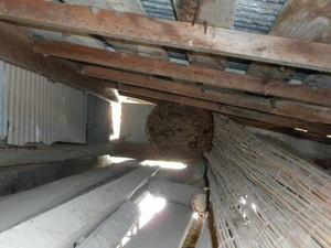 キイロスズメバチの巣が納屋の天井に(郡山市、2010年9下旬).jpg