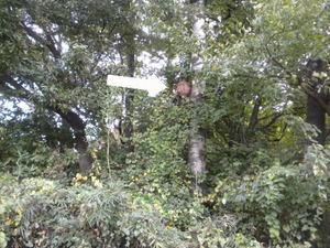 キイロスズメバチの巣が通学路近くの木に(福島県西白河郡、2010年10月下旬).jpg