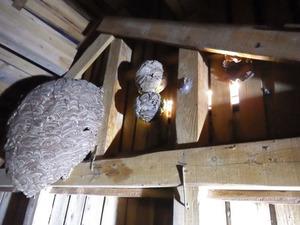 キイロスズメバチの巣が集中して4個も並ぶ通気口付近の様子(福島県小野町).jpg