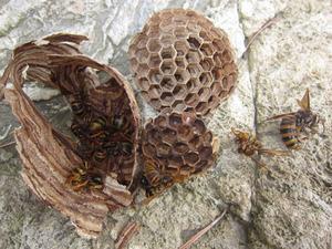 キイロスズメバチの巣と働き蜂、そして女王蜂 いわき市、7月中旬.jpg