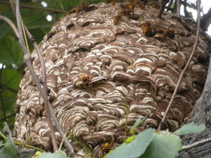 キイロスズメバチの巣に群がる成虫たち(福島県西白河郡、2010年10月下旬).jpg