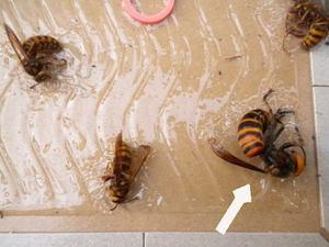 キイロスズメバチの巣に近づいたオオスズメバチをゲット(福島県石川郡、2010年10月中旬).jpg