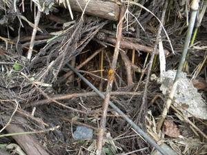 キイロスズメバチの巣の一部が堆積小山の中に見える(福島県西白河郡、2010年10月上旬).jpg