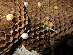 キイロスズメバチの巣の巣盤の様子 郡山市、10月中旬.jpg