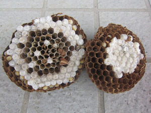 キイロスズメバチの巣の巣盤は2段 喜多方市、7月中旬