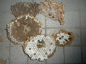 キイロスズメバチの巣は、巣盤が5段(須賀川市、2010年10月中旬).jpg