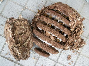 キイロスズメバチの巣は、直径27cm、巣盤7段(福島県石川郡、2010年10月中旬).jpg