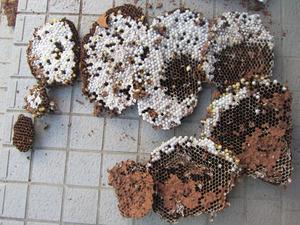 キイロスズメバチの巣は、直径40cm、巣盤9段 福島県耶麻郡、10月上旬.jpg