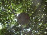 キイロスズメバチの巣はモミジの樹内(福島県西白河郡、2010年9月上旬).jpg