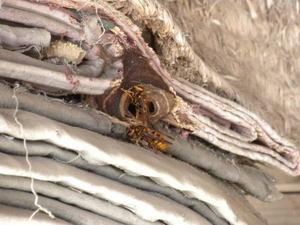 キイロスズメバチの巣は折重ねたゴザの隙間に(福島県田村市、2010年10月上旬).jpg