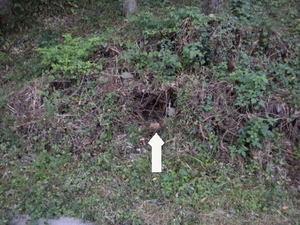 キイロスズメバチの巣は枝葉の堆積小山の中に(福島県西白河郡、2010年10月上旬).jpg