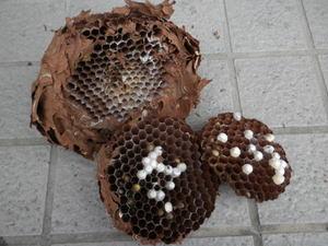 キイロスズメバチの巣は直径17cm、巣盤3段(福島県、2010年10月上旬).jpg