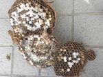キイロスズメバチの巣は直径18cm、巣盤4段(福島県西白河郡、2010年9月上旬).jpg