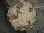 キイロスズメバチの巣は直径20cm、山小屋の軒下に(福島県二本松市、2010年9月上旬).jpg