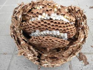 キイロスズメバチの巣は直径22cm、巣盤4段(福島県田村市、2010年9月中旬).jpg