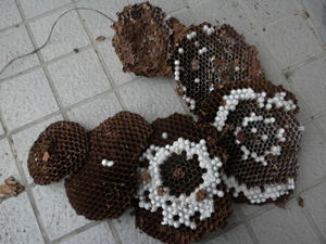 キイロスズメバチの巣は直径26cm、巣盤6段(福島県西白河郡、2010年10月上旬).jpg