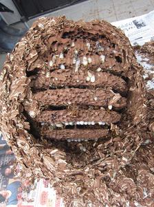 キイロスズメバチの巣は直径36cm、巣盤が9段 福島市、10月中旬.jpg