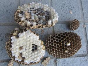 キイロスズメバチの巣は直径が13cm、巣盤が4段  須賀川市、2012年.jpg