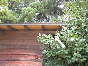 キイロスズメバチの巣は神社倉庫の壁内(郡山市、2010年9月下旬).jpg