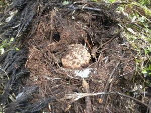 キイロスズメバチの巣を堆積した枝葉に発見(福島県、2010年10月上旬).jpg
