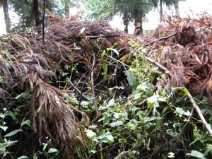 キイロスズメバチの巣を堆積した枝葉の中から出入り(福島県、2010年10月上旬).jpg