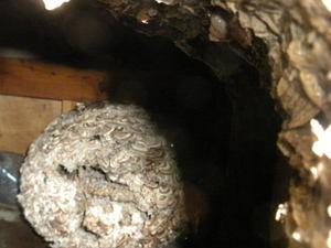 キイロスズメバチの巣を換気口から観察(郡山市、2010年10月中旬).jpg