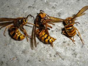 キイロスズメバチの巣内にいた成虫たち(福島県西白河郡、2010年10月下旬).jpg