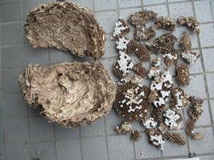 キイロスズメバチの巣内に白いまゆが目立つ(福島県西白河郡、2010年10月中旬).jpg