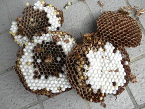 キイロスズメバチの巣盤は白いまゆで一杯(福島県田村市、2010年9月中旬).jpg