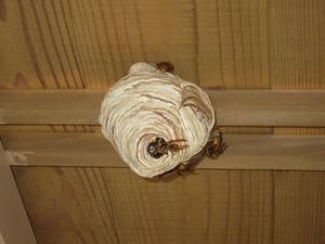 キイロスズメバチの引っ越し巣 いわき市、7月中旬.jpg