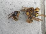 キイロスズメバチの玄関の巣にいた女王蜂(福島県田村市、2010年9月中旬).jpg
